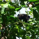 Cahuita National Park: howler monkey