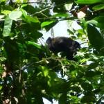 Cahuita National Park: howler monkey