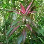 Cahuita National Park: beautiful leaves