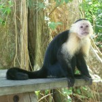 Cahuita National Park: capuchin
