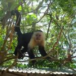 Cahuita National Park: capuchin