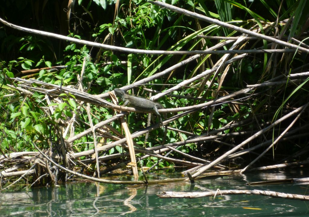 Trip to Tortuguero 4: iguana