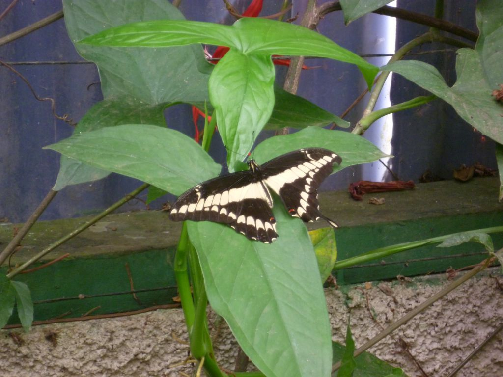 Butterfly: Swallowtail