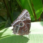 Butterfly: Morpho Butterfly with closed wings