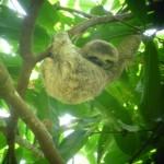 Parque Nacional Manuel Antonio 5: sloth baby