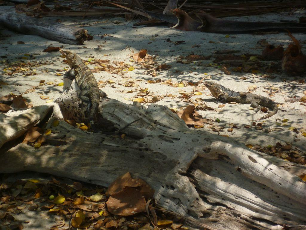 Parque Nacional Manuel Antonio 7: how many iguanas do you see?