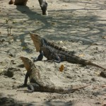 Parque Nacional Manuel Antonio 8: two iguanas