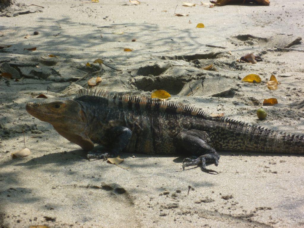 Parque Nacional Manuel Antonio 9: a big iguana