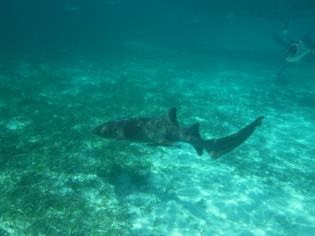 Sailing trip 7: nurse shark (picture taken by Cathryn)