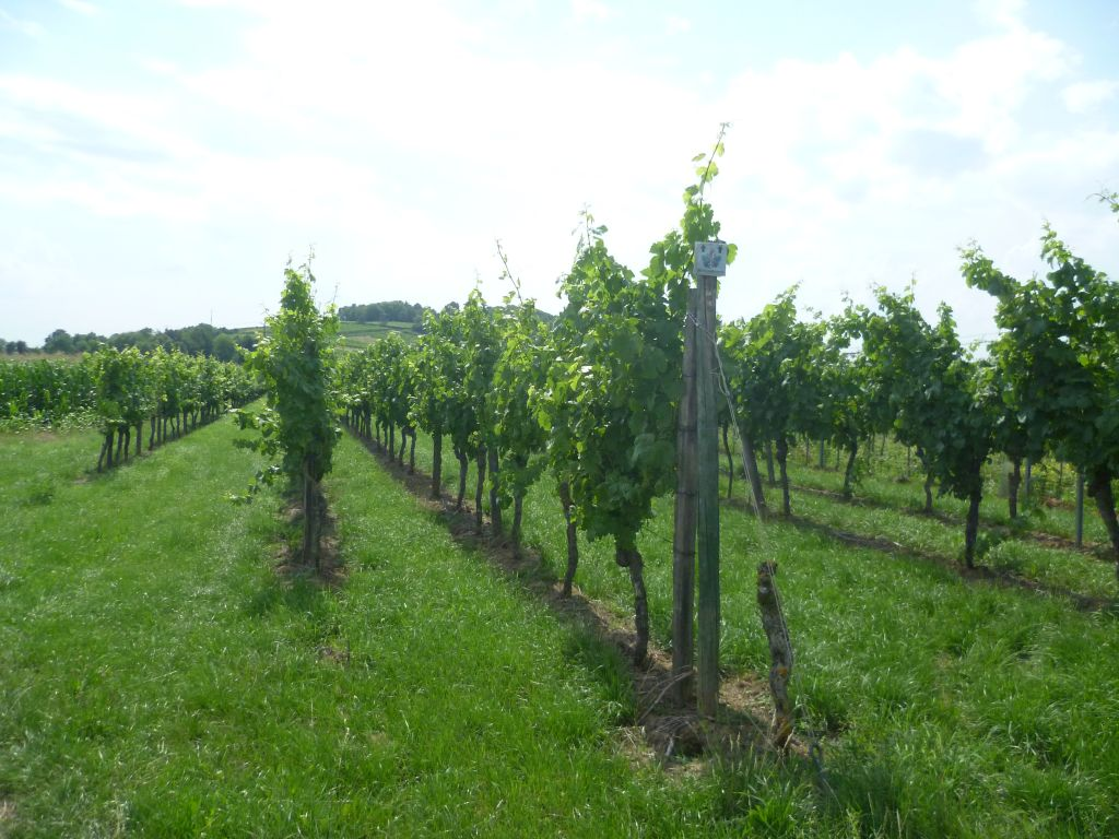 One of the numerous vinyards in the area