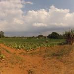 Ein Tabakfeld im Valle Viñales