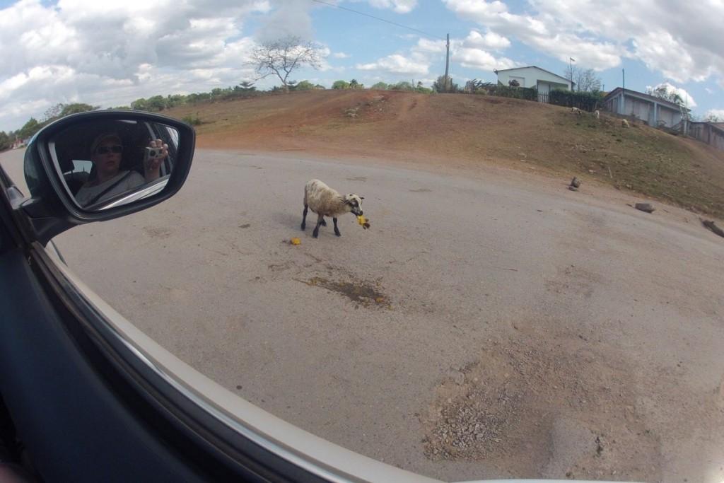 Auf dem Weg nach Cayo Jutías: Ziegen