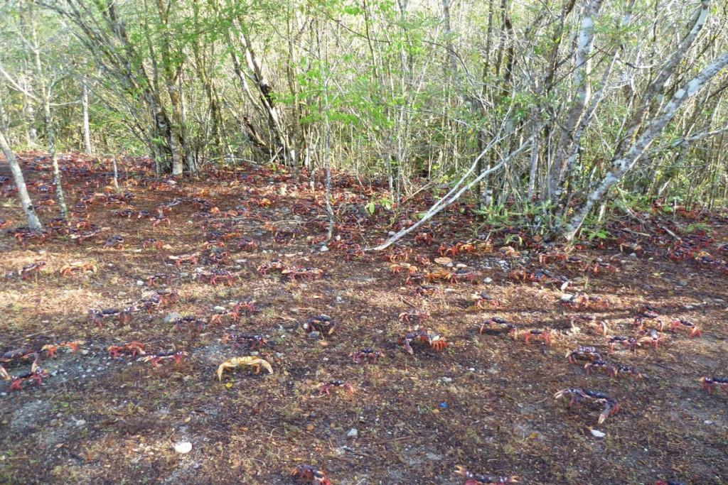 Viele Krebse bahnen sich ihren Weg in den Wald
