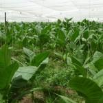 Deckblatt-Pflanzen in einer Art Gewächshaus