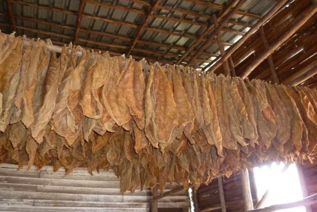 Die Blätter werden zum Trocknen aufgehängt