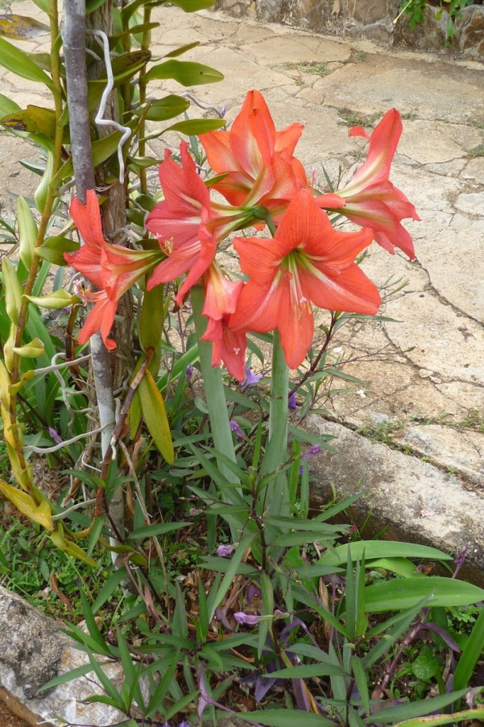 Amaryllis im Garten