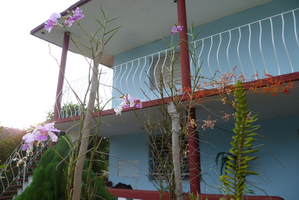 Riesen-Orchideen im Garten