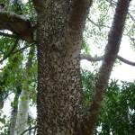 Florettseidenbaum mit Selbstverteidigungsstamm