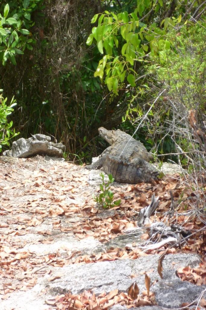 Glücklicherweise hielt das Krokodil gerade Siesta