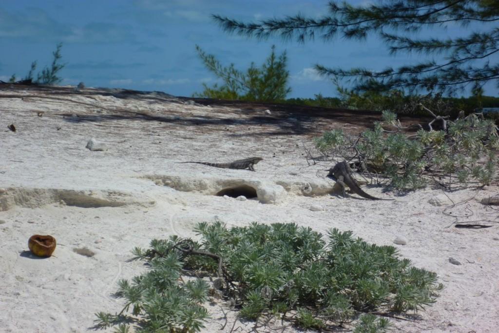 Auf Cayo Iguana