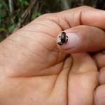 Kleinster Frosch der Welt (ausgewachsen!)