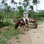 In den ländlichen Regionen gibt es viele Ochsenkarren